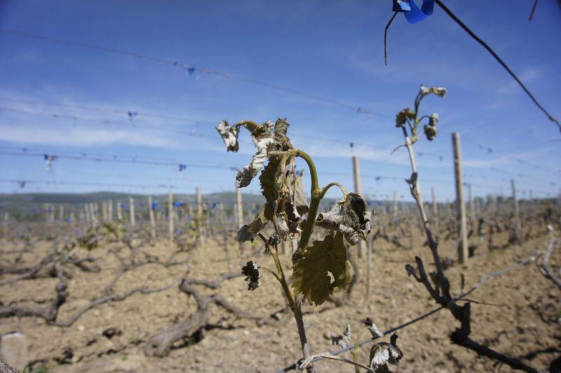 Preporuka za nasade stradale od mraza - obavijest vinogradarima
