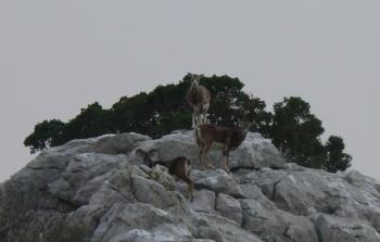'na svome' - mufloni na masivu Sv. Ilije