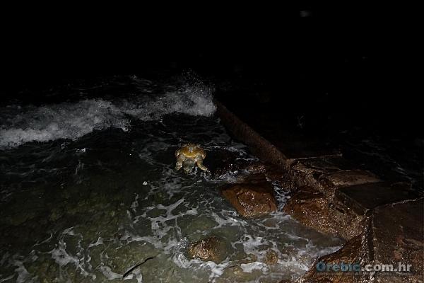 Uginula glavata želva nasukana ispred Anuncijate